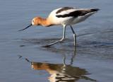 BIRD - AVOCET - AMERICAN AVOCET - SAN JOAQUIN WILDLIFE RESERVE IRVINE CALIFORNIA (6).JPG
