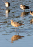 BIRD - CURLEW - LONG-BILLED CURLEW - SAN JOAQUIN WILDLIFE REFUGE IRVINE CALIFORNIA (6).JPG