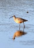 BIRD - CURLEW - LONG-BILLED CURLEW - SAN JOAQUIN WILDLIFE REFUGE IRVINE CALIFORNIA (8).JPG