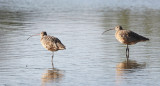 BIRD - CURLEW - LONG-BILLED CURLEW - SAN JOAQUIN WILDLIFE REFUGE IRVINE CALIFORNIA.JPG