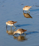 BIRD - DOWITCHER - LONG-BILLED DOWITCHER - SAN JOAQUIN WILDLIFE REFUGE IRVINE CALIFORNIA (2).JPG