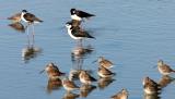 BIRD - DOWITCHER - LONG-BILLED DOWITCHER - WITH BLACK-NECKED STILT - SAN JOAQUIN WILDLIFE REFUGE IRVINE CALIFORNIA.JPG