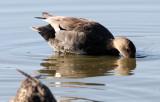 BIRD - DUCK - GADWALL - SAN JOAQUIN WILDLIFE REFUGE IRVINE CALIFORNIA (2).JPG