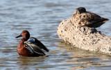 BIRD - DUCK - TEAK - CINNAMON TEAK - SAN JOAQUIN WILDLIFE REFUGE IRVINE CALIFORNIA (4).JPG