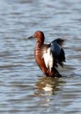 BIRD - DUCK - TEAK - CINNAMON TEAK - SAN JOAQUIN WILDLIFE REFUGE IRVINE CALIFORNIA (7).JPG