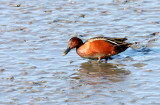 BIRD - DUCK - TEAL - CINNAMON TEAL - SAN JOAQUIN WILDLIFE REFUGE IRVINE CALIFORNIA (3).JPG
