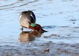 BIRD - DUCK - TEAL - GREEN-WING TEAL - SAN JOAQUIN WILDLIFE REFUGE IRVINE CALIFORNIA.JPG