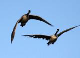 BIRD - GOOSE - CANADA GOOSE - SAN JOAQUIN WILDLIFE RESERVE IRVINE CALIFORNIA.JPG