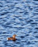 BIRD - GREBE - PIED-BILLED GREBE - SAN JOAQUIN WILDLIFE REFUGE IRVINE CALIFORNIA.JPG