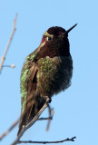 BIRD - HUMMINGBIRD - BLACK-CHINNED HUMMINGBIRD - SAN JOAQUIN WILDLIFE REFUGE IRVINE CALIFORNIA (3).JPG