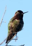 BIRD - HUMMINGBIRD - BLACK-CHINNED HUMMINGBIRD - SAN JOAQUIN WILDLIFE REFUGE IRVINE CALIFORNIA (6).JPG