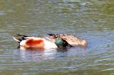 BIRD - SHOVELER - NORTHERN SHOVELER - SAN JOAQUIN WILDLIFE REFUGE IRVINE CALIFORNIA (3).JPG