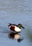 BIRD - SHOVELER - NORTHERN SHOVELER - SAN JOAQUIN WILDLIFE REFUGE IRVINE CALIFORNIA (5).JPG