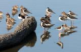 BIRD - STILT - BLACK-NECKED STILT - SAN JOAQUIN WILDLIFE REFUGE IRVINE CALIFORNIA (17).JPG