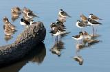 BIRD - STILT - BLACK-NECKED STILT - SAN JOAQUIN WILDLIFE REFUGE IRVINE CALIFORNIA (19).JPG
