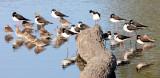 BIRD - STILT - BLACK-NECKED STILT - SAN JOAQUIN WILDLIFE REFUGE IRVINE CALIFORNIA (21).JPG