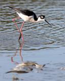 BIRD - STILT - BLACK-NECKED STILT - SAN JOAQUIN WILDLIFE REFUGE IRVINE CALIFORNIA (8).JPG