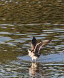 BIRD - WHIMBREL - SAN JOAQUIN WILDLIFE REFUGE IRVINE CALIFORNIA (13).JPG