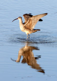 BIRD - WHIMBREL - SAN JOAQUIN WILDLIFE REFUGE IRVINE CALIFORNIA (23).JPG