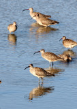 BIRD - WHIMBREL - SAN JOAQUIN WILDLIFE REFUGE IRVINE CALIFORNIA (5).JPG