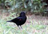 BIRD - BLACKBIRD - RED-WING BLACKBIRD - SUNSET BEACH STATE PARK CALIFORNIA.JPG