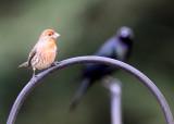 BIRD - CROSSBILL - RED CROSSBILL - SUNSET BEACH STATE PARK CALIFORNIA (3).JPG