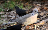 BIRD - DOVE - EURASIAN COLLARED-DOVE - STREPTOPELIA DECAOCTO - SUNSET BEACH STATE PARK CALIFORNIA (3).JPG