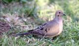BIRD - DOVE - MOURNING DOVE - SUNSET BEACH STATE PARK CALIFORNIA (2).JPG