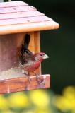 BIRD - FINCH - HOUSE FINCH - SUNSET BEACH STATE PARK CALIFORNIA (2).JPG