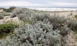 SUNSET BEACH STATE BEACH CALIFORNIA - DUNE PLANT COMMUNITY WELL RESTORED (6).JPG