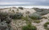 SUNSET BEACH STATE BEACH CALIFORNIA - DUNE PLANT COMMUNITY WELL RESTORED (7).JPG