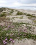 SUNSET BEACH STATE BEACH CALIFORNIA - DUNE PLANT COMMUNITY WELL RESTORED.JPG