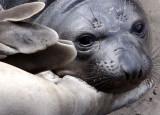 PINNIPED - SEAL - ELEPHANT SEAL - ANO NUEVO RESERVE CALIFORNIA 2.JPG