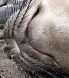 PINNIPED - SEAL - ELEPHANT SEAL - ANO NUEVO RESERVE CALIFORNIA 5.JPG