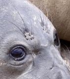 PINNIPED - SEAL - ELEPHANT SEAL - ANO NUEVO RESERVE CALIFORNIA 8.JPG