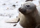 PINNIPED - SEAL - ELEPHANT SEAL - ANO NUEVO RESERVE CALIFORNIA 9.JPG
