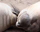 PINNIPED - SEAL - ELEPHANT SEAL - ANO NUEVO RESERVE CALIFORNIA 14.JPG