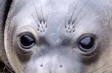 PINNIPED - SEAL - ELEPHANT SEAL - ANO NUEVO RESERVE CALIFORNIA 22.JPG