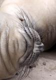 PINNIPED - SEAL - ELEPHANT SEAL - ANO NUEVO RESERVE CALIFORNIA 24.JPG