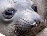 PINNIPED - SEAL - ELEPHANT SEAL - ANO NUEVO RESERVE CALIFORNIA 25.JPG