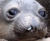 PINNIPED - SEAL - ELEPHANT SEAL - ANO NUEVO RESERVE CALIFORNIA 26.JPG