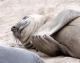 PINNIPED - SEAL - ELEPHANT SEAL - ANO NUEVO RESERVE CALIFORNIA 33.JPG