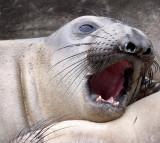 PINNIPED - SEAL - ELEPHANT SEAL - ANO NUEVO RESERVE CALIFORNIA 36.JPG