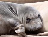 PINNIPED - SEAL - ELEPHANT SEAL - ANO NUEVO RESERVE CALIFORNIA 45.JPG