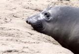 PINNIPED - SEAL - ELEPHANT SEAL - ANO NUEVO RESERVE CALIFORNIA 54.JPG