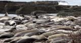 PINNIPED - SEAL - ELEPHANT SEAL - ANO NUEVO RESERVE CALIFORNIA 56.JPG