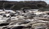 PINNIPED - SEAL - ELEPHANT SEAL - ANO NUEVO RESERVE CALIFORNIA 57.JPG