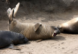 PINNIPED - SEAL - ELEPHANT SEAL - WEANERS MAINLY - ANO NUEVO SPECIAL RESERVE CALIFORNIA.JPG