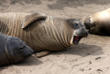 PINNIPED - SEAL - ELEPHANT SEAL - WEANERS MAINLY - ANO NUEVO SPECIAL RESERVE CALIFORNIA 2.JPG