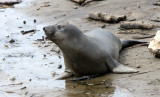 PINNIPED - SEAL - ELEPHANT SEAL - WEANERS MAINLY - ANO NUEVO SPECIAL RESERVE CALIFORNIA 3.JPG